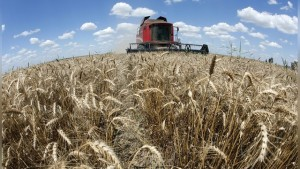 A reaper harvests a field of wheat in Orezu, southeastern Romania, July 2, 2014. Romania's 2014 wheat crop rose to a record 7.4 million tonnes from 7.3 million a year earlier while a rapeseed crop of 1.1 million tonnes marked a 44-year high, the agriculture ministry said on Monday as it gears up for robust maize and sunflower harvests. In the past couple of years, Romania has emerged as a major grains exporter to Egypt, the world's biggest wheat importer, together with Black Sea producers Russia and Ukraine. Picture taken July 2, 2014. REUTERS/Bogdan Cristel (ROMANIA - Tags: AGRICULTURE BUSINESS) - RTR43ODY