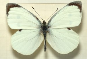 1024px-pieris-brassicae-male-mounted
